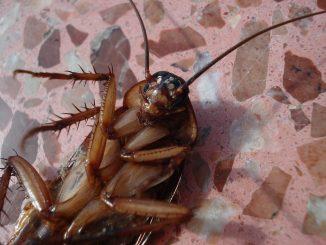 Nur professionelle Schädlingsbekämpfer sollten Kakerlaken bekämpfen- Foto: pixabay.com/beeki/CCO