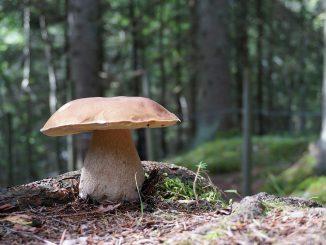 Große Exemplare können bis zu 15 cm hoch werden und haben einen charakteristisch dicken Stiel. - Foto: pixabay.com/PalKarlsen/CCO