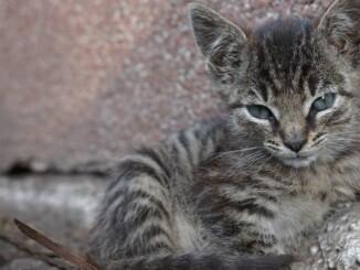 Nicht nur die Katzen zu Hause schnurren, sondern auch ihre Artverwandten wie Luchs, Gepard und Ozelot. - Foto: pixabay.com/jaz24/CCO