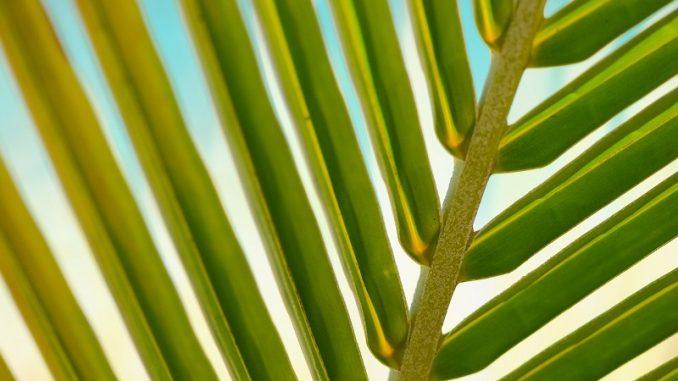 Laien sind häufig der Meinung, dass Palmen ganzjährig in der Sonne stehen wollen. - Foto: pixabay.com/stokpic/CCO