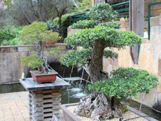 Der dickste und höchste Baum der Welt verwandelt sich in einen Bonsai und dies klappt vor allem bei dem Bergmammutbaum sehr gut. - Foto: pixabay.com/nickyb13/CCO