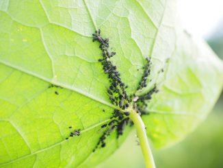 Besonders häufig tritt unter den Pflanzenschädlingen die Blattlaus auf. Die kleinen Tierchen ernähren sich vom Pflanzensaft und können dadurch die Pflanze selbst schädigen. - Foto: pixabay.com/Hans/CCO