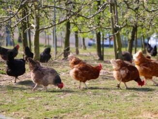 Zum Hühner selber halten braucht es nicht wirklich viel Platz und so sind auch kleine Gärten dafür sehr gut geeignet. Auch der Aufwand hält sich wirklich in Grenzen und stellt keine großen Anforderungen. - Foto: pixabay.com/422737/CCO