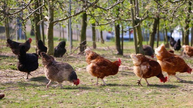 Hühnerhaltung Im Garten hühner selber im garten halten alltagstipp