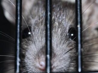 Ratten sind auch immer auf der Suche nach genügend Futter und machen sich zu Hause dann auch über alle Lebensmittel her. - Foto: pixabay.com/sipa/CCO
