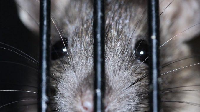 Ratten Im Haus Richtig Vertreiben Alltagstipp