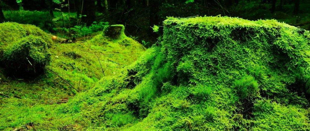 Moos als lästiges Unkraut im Garten – manche Gärtner züchten ihn sogar extra. Andere wiederum suchen nach diversen Bekämpfungsmittelns. - Foto: pixabay.com/ioa8320/CCO